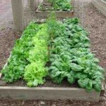 Raised-Bed-Lettuce2-255x300