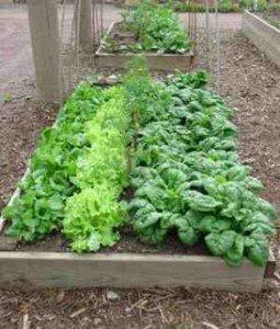 Raised-Bed-Lettuce2-255x300