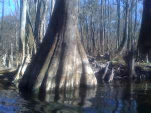 cypress_stump_with_knees