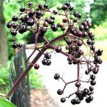 Elderberries.Photo