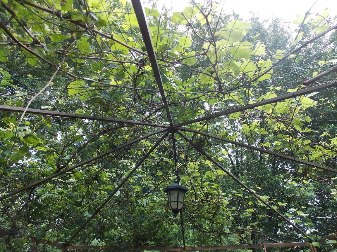 What did i do to prep this week - How to build a grape vine support the natural roof ...