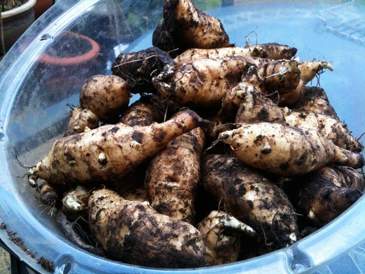Jerusalem Artichokes - How To Store Seeds