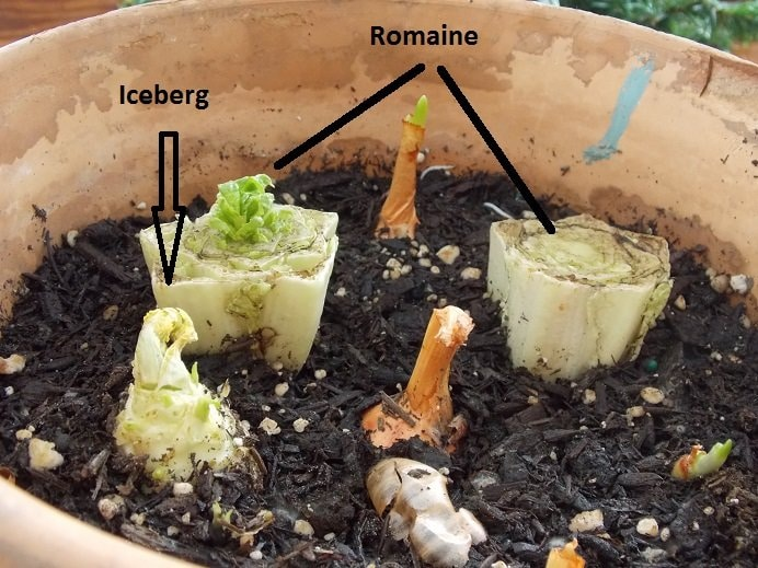 Regrowing vegetables from their scraps