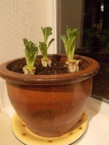 Romaine lettuce  in pot