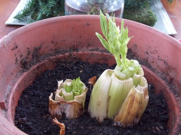 Regrowing Celery & Small Onions