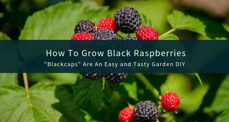 Blackcap Berries