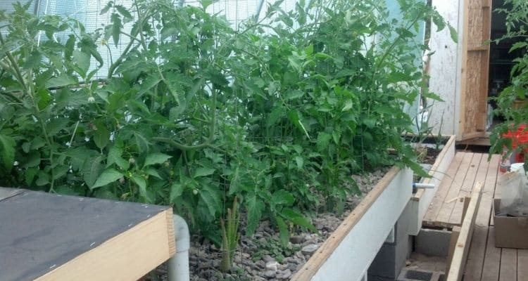 Grow Beds Aquaponic Tomatoes