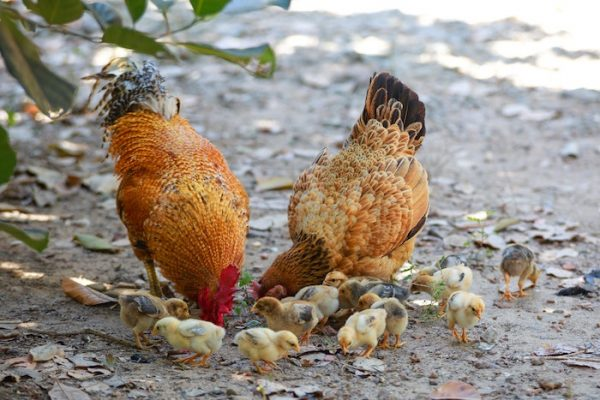 Chickens With Mom