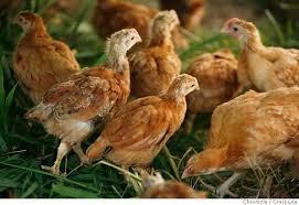 adolescent chickens