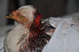 adolescent pecked