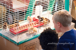 chicks in a rabbit cage