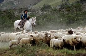 cowboy and sheep