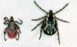 deer tick vs wood tick side by side