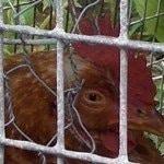 Chicken Doctorin' - Part 5