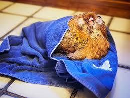hen in towel