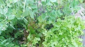 lettuce.peas.carrots