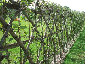 apples espalier 3