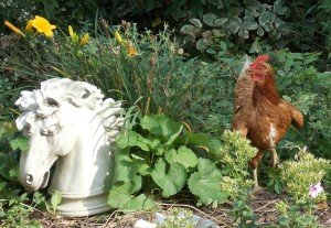 chicken in garden
