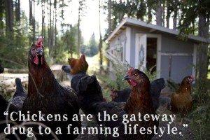 chickens gateway drug