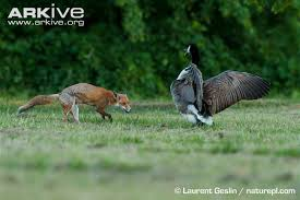goose attacking fox