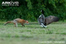 goose attacking fox