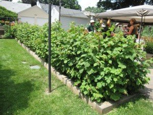 Raspberry Hedge