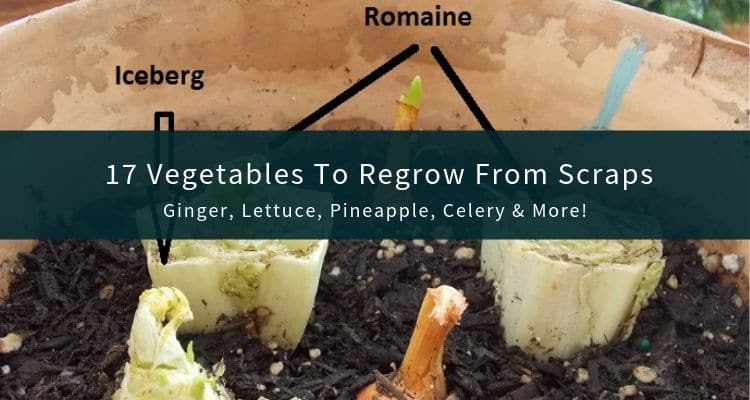 Vegetables to Regrow From Scraps