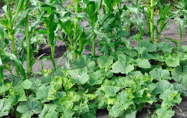 3 Sisters Garden Corn Beans Squash