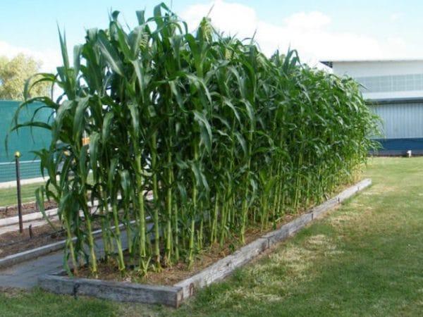 Backyard Corn for the Survival Garden