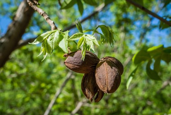 Nut Trees for The Survival Garden